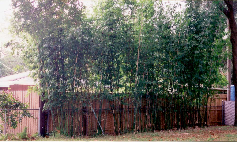Bambooweb Info View Topic Which Bamboo