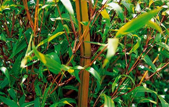 <i> Bambusa ventricosa</i> 'Kimmei'