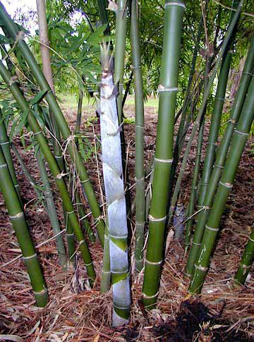 Bambooweb Dendrocalamus Membranaceus Photos And
