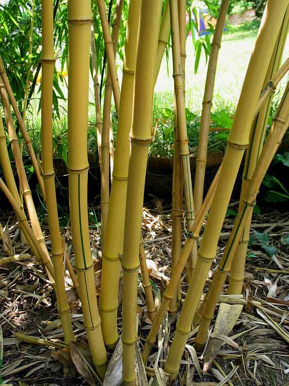 bambooweb phyllostachys vivax 39 aureocaulis 39 photos and. Black Bedroom Furniture Sets. Home Design Ideas