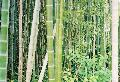 <i> Phyllostachys edulis</i> 'Anderson'
