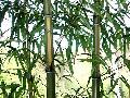 <i> Phyllostachys vivax</i> 'Huangwenzhu'