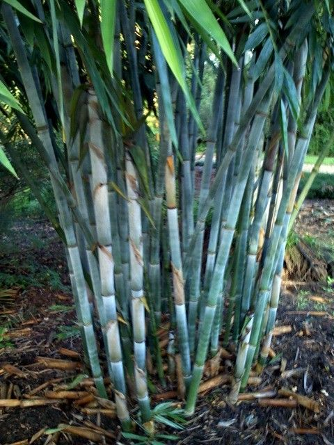 Bambooweb Info View Topic 5 Small Or 1 Large Tropical Blue